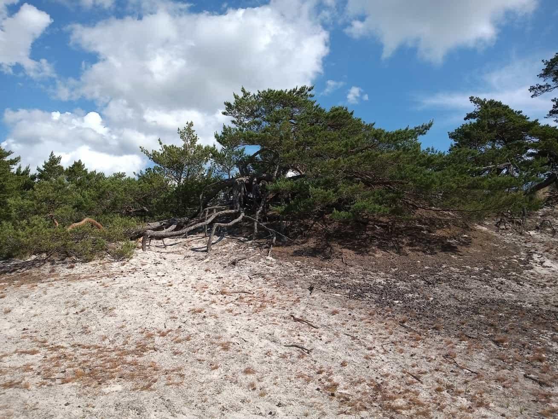 torr skog på Bornholm